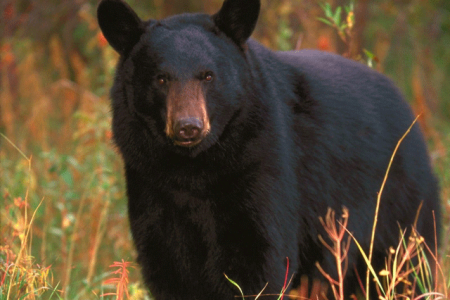 Observation de l'ours noir en pleine forêt !